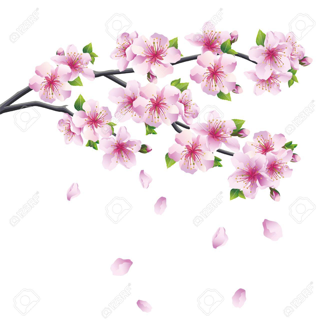 29121011 branchement de sakura japonais cerisier avec la. Black Bedroom Furniture Sets. Home Design Ideas